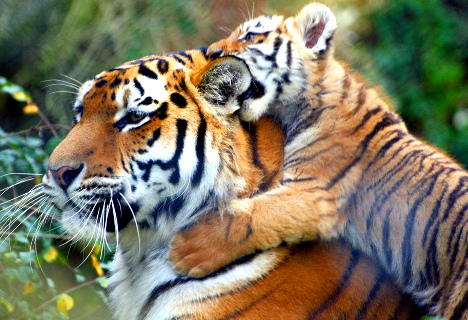 tiger mom, child abuse, tough love, social conditions, raising children