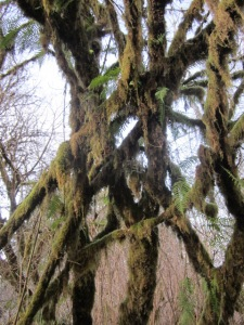 forest, rainforest, Lake Quinault, Olympic Peninsula