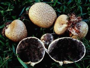 puffballs, mushrooms, eating