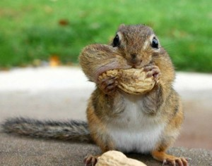 squirrels, hoarding, food, pack ratss